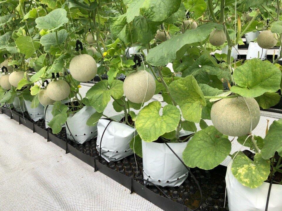 Bầu trồng cây